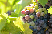 Red and Green Grapes on the Vine — Stock Photo