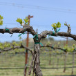 Grapevine in Spring with Blue Sky — Stockfoto