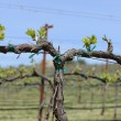 图库照片: Grapevine in Spring with Blue Sky