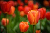 赤とオレンジ色のチューリップ — ストック写真