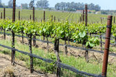 Wine Vineyard in Spring — Stock Photo
