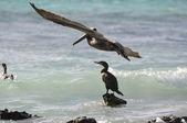 Pelican Flying over the Ocean — Stock Photo
