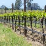 Napa Valley California Vineyard in Spring — Stock Photo #33386151