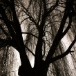 Scary Weeping Willow Tree — Stock Photo #33386335