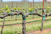 Grapevine in the Spring — Stock Photo