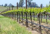 Viñedo, napa valley california en primavera — Foto de Stock