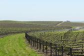 Viñedo de uva del valle de napa en primavera — Foto de Stock
