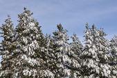 Karla kaplı çam ağaçları — Stok fotoğraf
