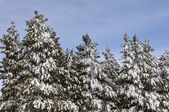 Pine Trees Covered in Snow — Stockfoto