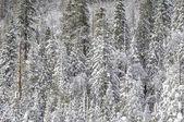 śnieg drzewa pokryte — Zdjęcie stockowe