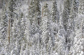 Snow Covered Trees — Stockfoto