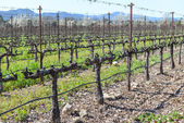 Rows of Grape Vines in the Winter — Stock Photo