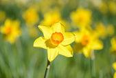 Daffodil in Spring — Stock Photo