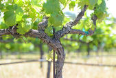 Grape Vine in Spring Napa — Stock fotografie