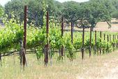 Grapevines in California — Stock Photo