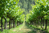 Grapevines in Spring — Stock Photo