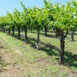 Grapevines in the Spring — Stock Photo