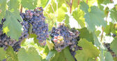 Red Grapes on the Vine — Stock Photo