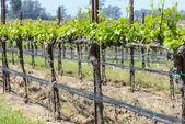 Napa Valley  California Vineyard in Spring — Stock Photo