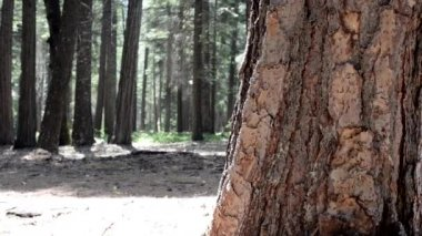 Beautiful pine tree forest — Stockvideo