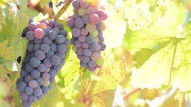 Виноград на лозе — Стоковое видео