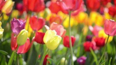 Tulip Garden — Stock Video