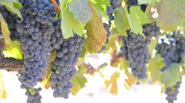 Grapes on the Vine — Stock Video