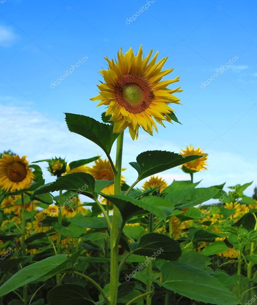 美丽的风景与球场上的向日葵– 图库图片