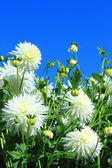 Dahlia in white color — Stock Photo