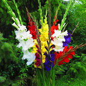 Colorful gladiolus bouquet — Stock Photo