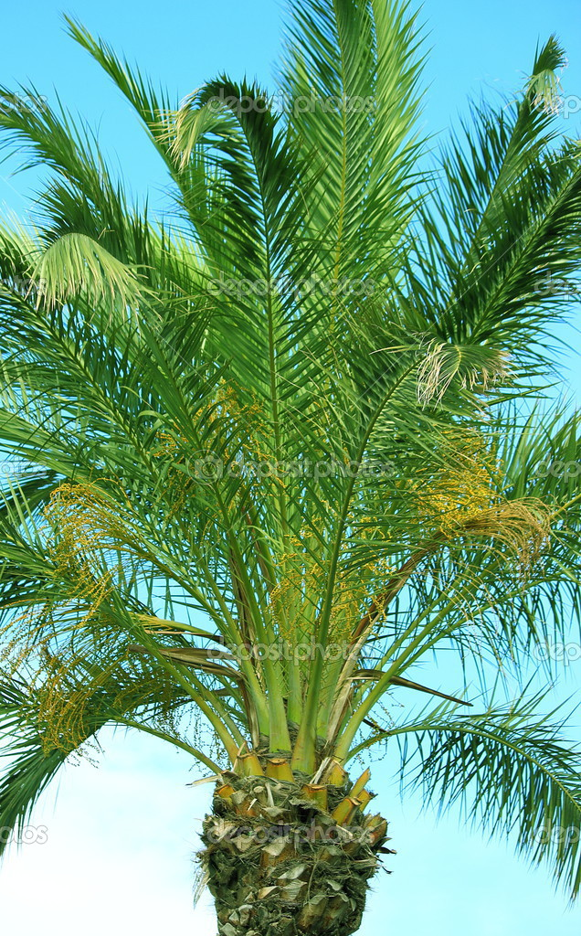 Palm tree on blue sky — Stock Photo #13614836