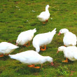 Stock Photo: Seven geese