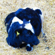Cow calf in the straw — Foto Stock