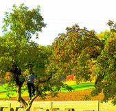 Cosecha de manzanas rico — Foto de Stock