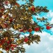 Stock Photo: Mountain ash