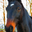 Wonderful thoroughbred horse portrait — Stock Photo