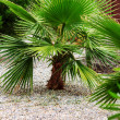 Baby palm tree — Stock Photo