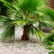 Stock Photo: Baby palm tree