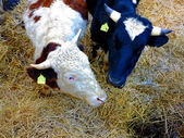 Two calves in white and dark blue color — Photo