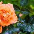Beautiful salmon colored roses — Stock Photo