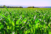 Corn fields — Stock Photo