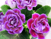 Purple Gloxinia flowers — Stock Photo