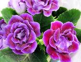 Purple Gloxinia flowers — Stock Photo
