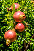 Pomegranates on tree — Stock Photo
