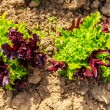 Stock Photo: Colorful salad plants in spring