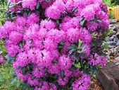 Purple Rhododendron — Stock Photo