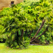 Stock Photo: Palm tree