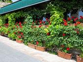Red geraniums — Stock Photo