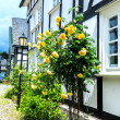 Yellow roses in front of half timbered house — Stock Photo