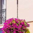 Stock Photo: Purple petuniin hanging basket